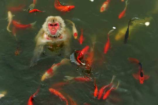 A monkey plays in a pond surrounded by carps at a wildlife park in Hefei, Anhui province