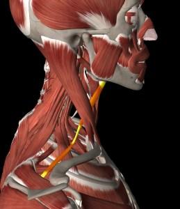 skalenove svaly