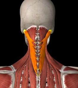 vzpriamovace chrbtice