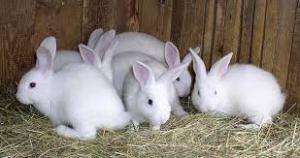 Manfaat Daging Kelinci: Obati Asma