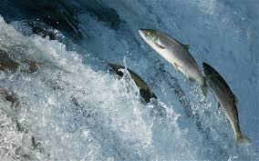 Manfaat Daging Ikan Salmon Untuk Kesehatan: Cegah Penyakit Jantung