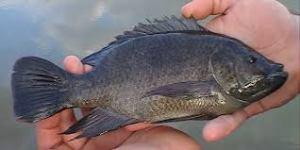 Manfaat Ikan Mujair Untuk Kesehatan: Mengentalkan Sperma