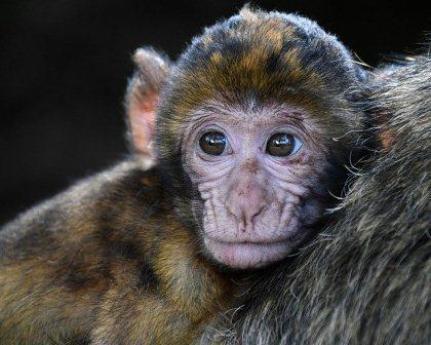 Arti Mimpi Monyet