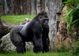 Arti Mimpi Dikejar Gorila