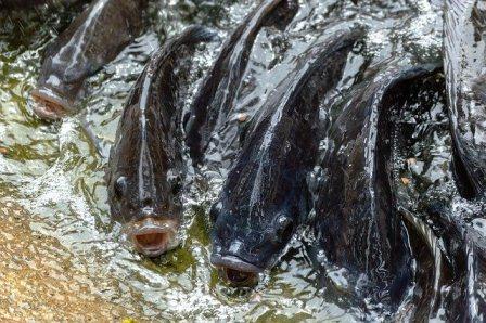 Arti Mimpi Ikan Nila