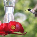 Cómo hacer su propia comida para colibrí (y por qué debería hacerlo)