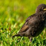 Los pájaros novatos no necesitan ser 'rescatados'