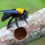 Cómo sacar las abejas carpinteras de su jardín sin matarlas