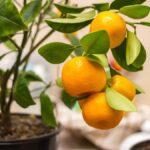 Mueva estas plantas en macetas al aire libre al interior para sobrevivir al invierno