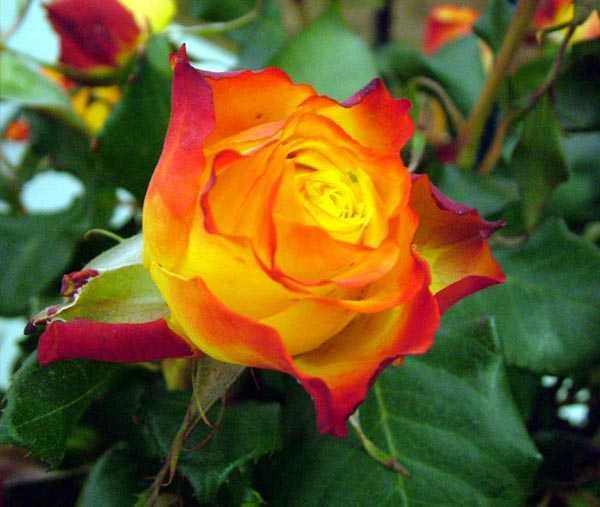 Картинка роза цветок – Ой!
