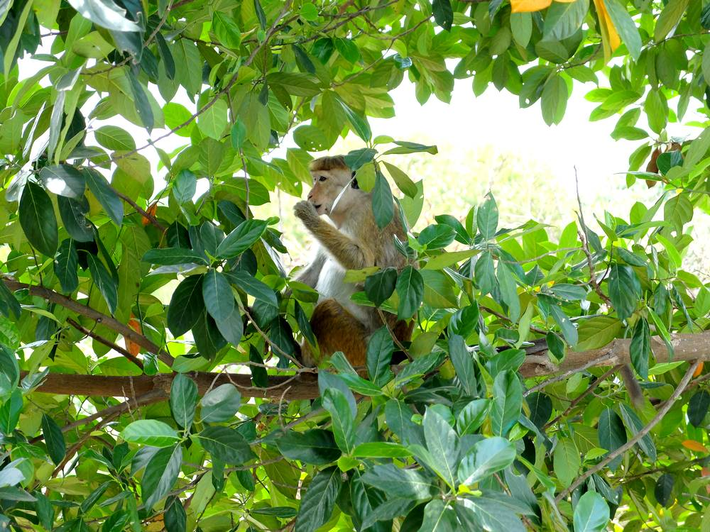 macaque sri lanka