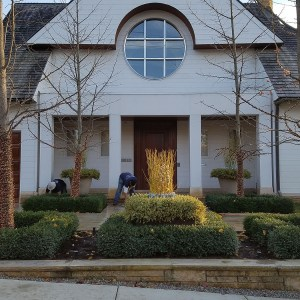 Yellow Twig and Variegated Boxwood Planting