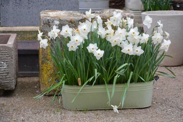 Daffodil Tub