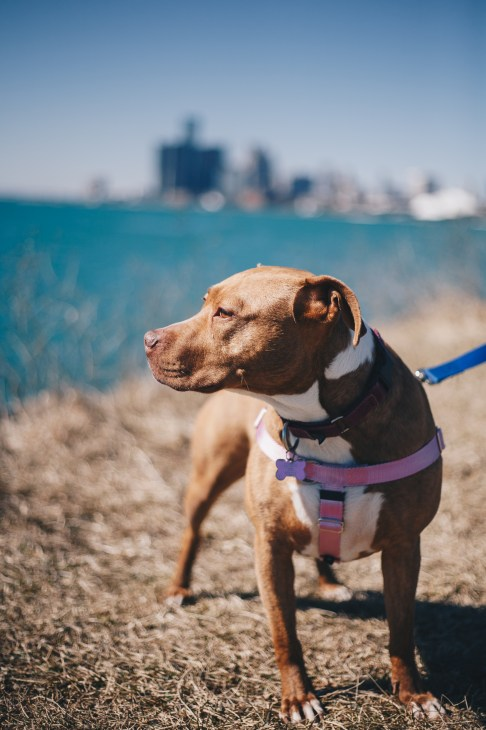 Apricot, a rescue dog with Detroit Dog Rescue, stands enjoying the sun on Belle Isle's Sunset Point.