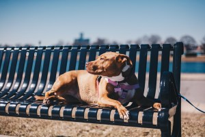 Apricot, a rescue dog with Detroit Dog Rescue, soaks up sun on Belle Isle.