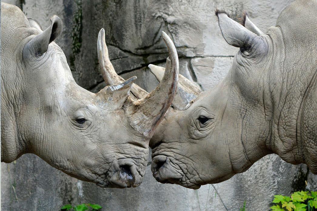 Rhinoceros Detroit Zoo