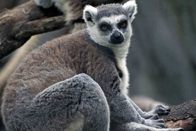ring tailed lemur is trafficked for sale