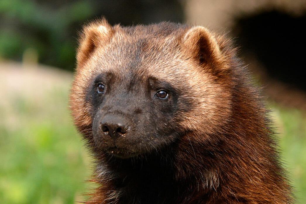 Wolverine Detroit Zoo