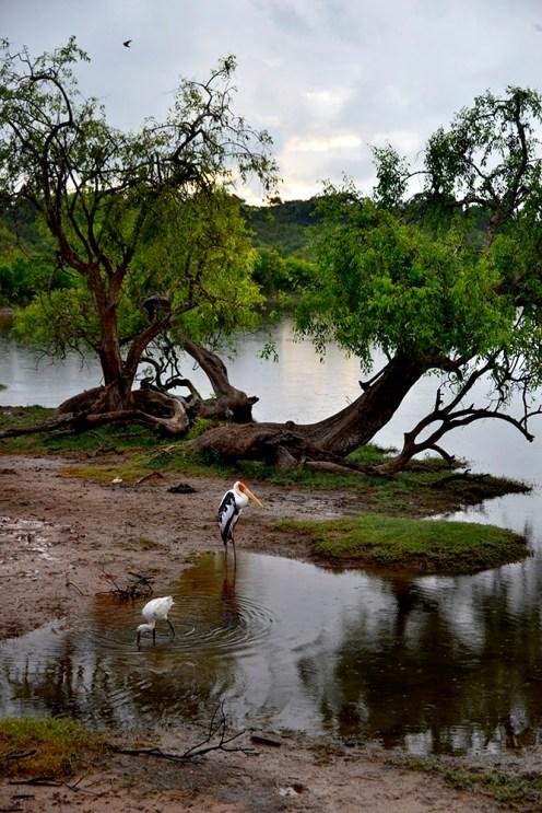 Yala National Park Sri Lanka fugl