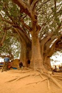 baobab sine saloum2