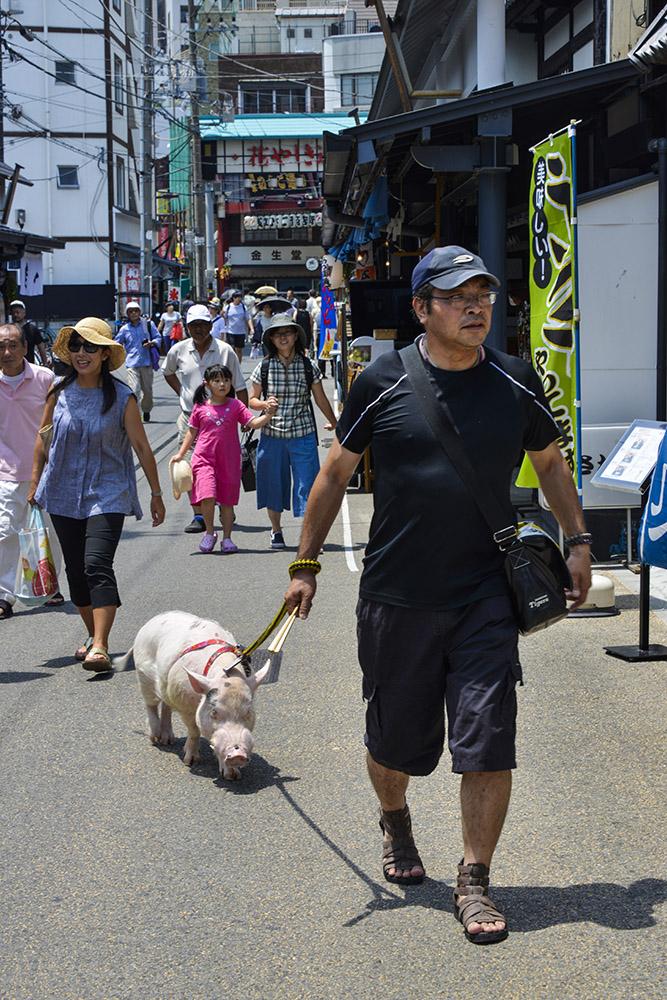 Asakusa, Tokyo, Japan, gris som husdyr, kjæledyr, kjælegris, husgris