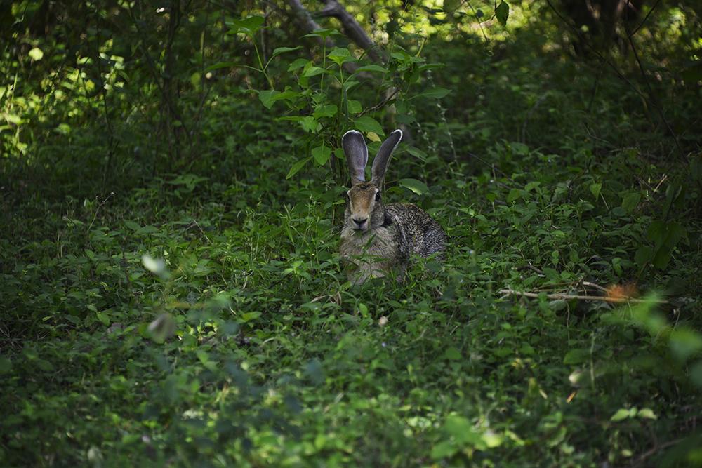 Hare eller kanin sett i Yala National Park i Sri Lanka