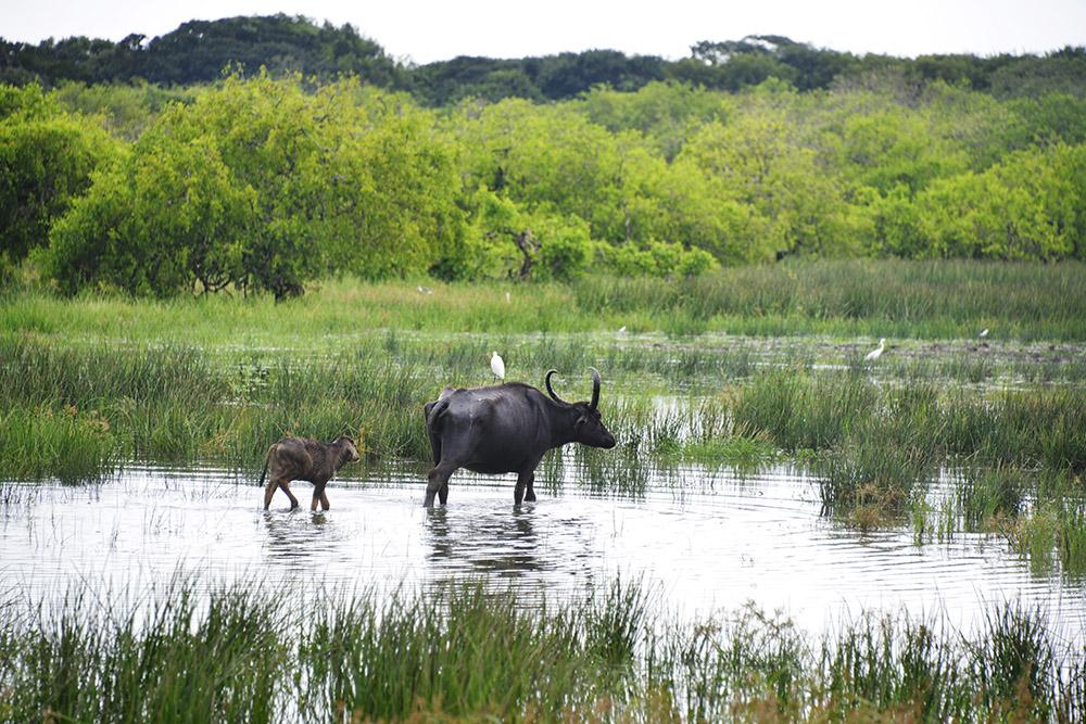 Vannbøffel, vannbøffelkalv, Yala National Park, Sri Lanka, safari