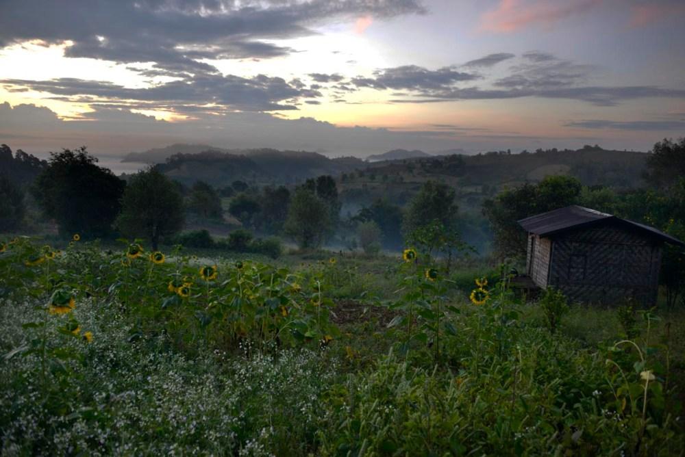 Solsikkeåker i Shan-staten i Myanmar ved soloppgang