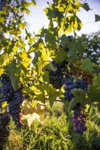 Nebbiolo-druer som skal bli Barolo-vin