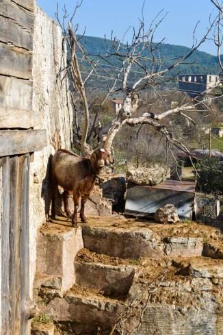 En sau i en av ruinene i Kayaköy utenfor Fethiye