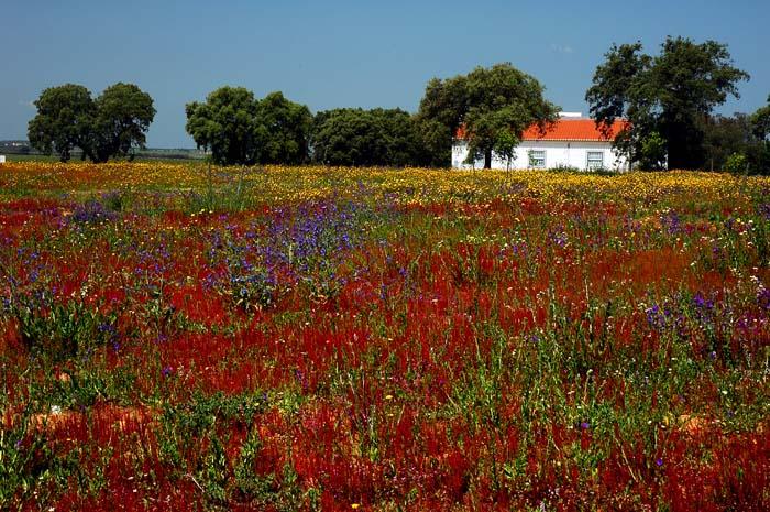 Røde blomster på en eng i Alentejo