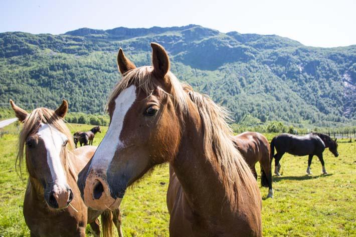 Hester på Vestlandet