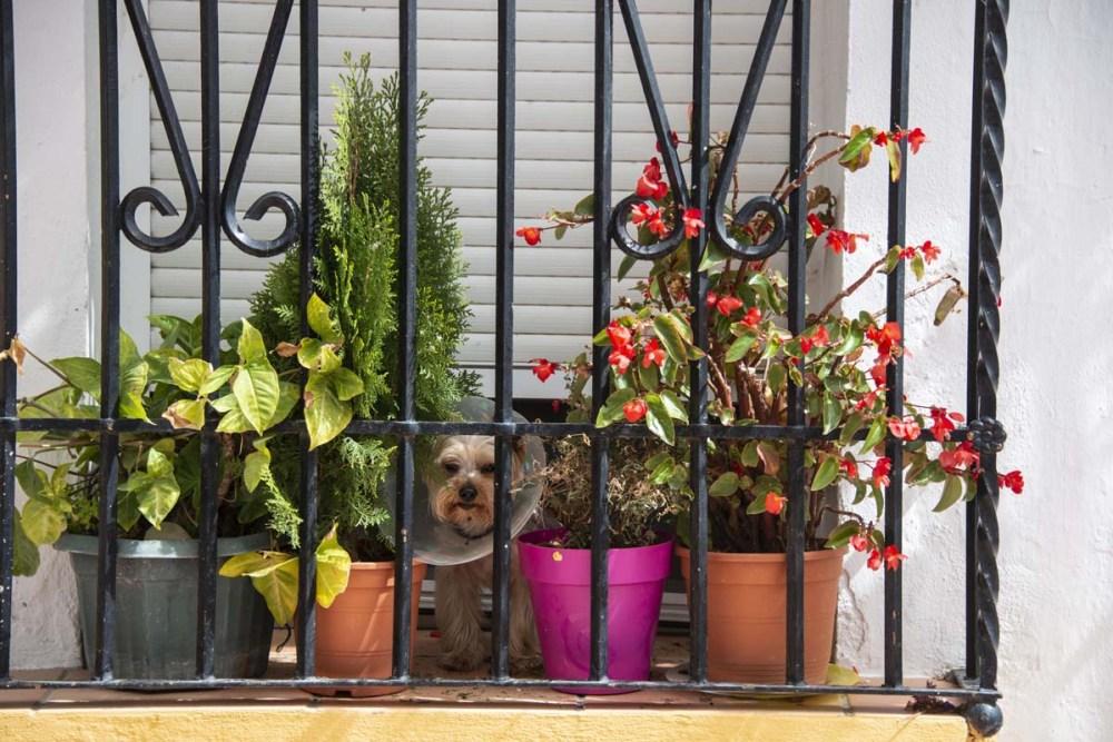 Hund med krave blant blomsterpotter på en balkong i Spania