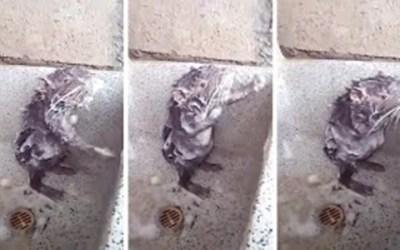 فأر يستحم مستخدماً الصابون ! ( فيديو )