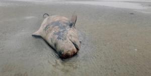 العثور على حوت نافق على شاطئ في ألمانيا