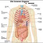 die inneren Organe