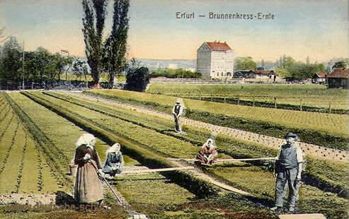 Erfurt, Brunnenkress-Ernte