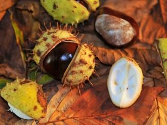 Rosskastanien im Herbst Foto: Peter Hoffmann