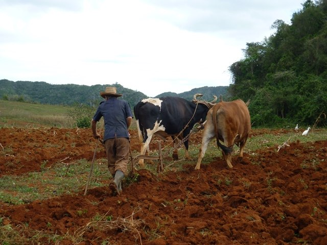 Viñales - Agriculture