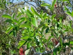 Everglades - Anhinga Trail flore
