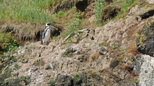 Pingouins Magellans