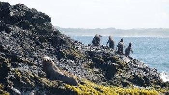 Manchots et loup de mer sur Chiloe
