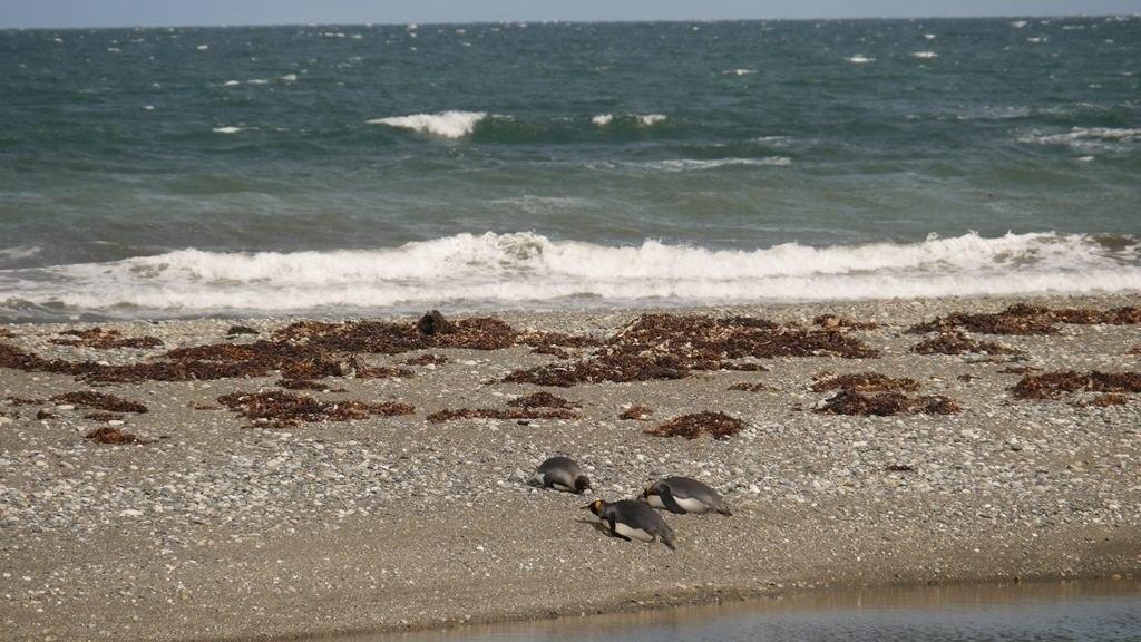 Manchots rois sur la plage