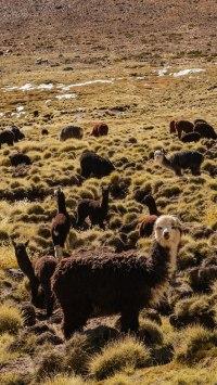 Rencontre avec des lamas au Parc Lauca
