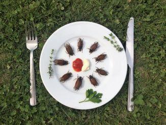 Insekten essen mit Einschränkung:Maikaefer (Melolontha melolontha) dürfen nicht als Lebensmittel angeboten werden. Da es sich nicht um eine geschützte Art handelt, ist es jedermann freigestellt, diese zuzubereiten