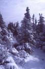 Abies balsamea Habit w snow
