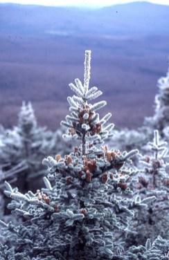 Abies balsamea cones w ice
