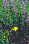 Baptisia australis flower habit