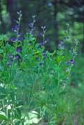 Baptisia australis new flw