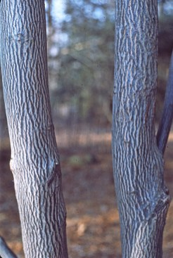 Halesia tetraptera striped bark